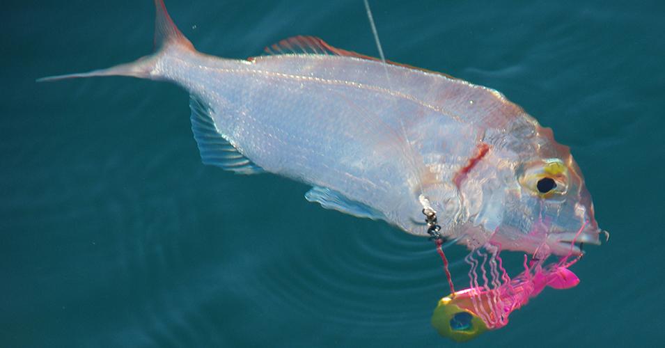 Les madaïs free slide hayabusa permettent de pêcher un grand nombre de sparidés
