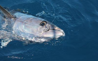 Le circle hook mag 188 Hayabusa : spécial poissons records