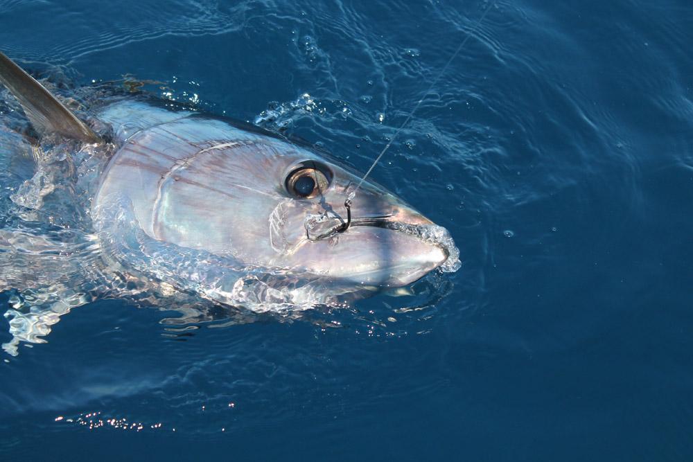 l' hameçon h mag 188 hayabusa est parfait pour la pêche sportive du thon rouge